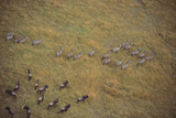 Zebras and Wildebeests Photographic Print by  DLILLC