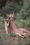 Lion Dragging Dead Giraffe Calf Photographic Print by  DLILLC