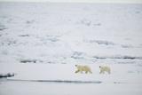 Pair of Polar Bears on Sea Ice Photographic Print by  DLILLC