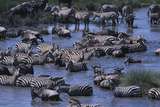 Zebras and Wildebeest at Water Hole Photographic Print by  DLILLC