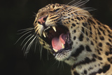Leopard Growling Photographic Print by  DLILLC