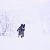 Black Wolf in Snow Fotografisk trykk av  DLILLC