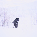 Black Wolf in Snow Photographic Print by  DLILLC
