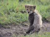 Cheetah Cub Photographic Print by  DLILLC