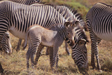Zebra Foal with Adults Photographic Print by  DLILLC