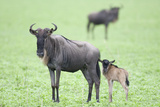 Wildebeest and Calf Photographic Print by  DLILLC