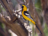 Hooded Oriole on Branch Reproduction photographique par  DLILLC