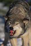 Gray Wolf Snarling in Snow Photographic Print by  DLILLC