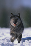 Black Wolf Running in Snow Photographic Print by  DLILLC