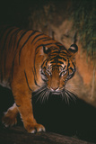 Sumatran Tiger Walking on Log Photographic Print by  DLILLC