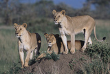 Lions on Dirt Mound Photographic Print by  DLILLC