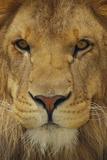 Lion Fotografisk tryk af  DLILLC