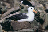 Black-Browed Albatross in Flight Photographic Print by  DLILLC
