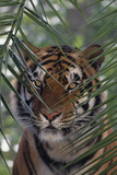 Bengal Tiger behind Palm Fronds Photographic Print by  DLILLC