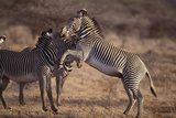 Zebras Photographic Print by  DLILLC