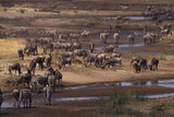 Zebras and Wildebeest Gathered near Water Photographic Print by  DLILLC