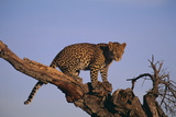 Leopard Climbing Tree Photographic Print by  DLILLC