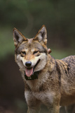 Red Wolf Photographic Print by  DLILLC