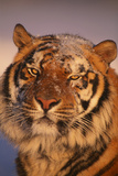 Bengal Tiger in Snow Photographic Print by  DLILLC