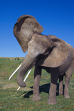 African Elephant Wagging Ears Photographic Print by  DLILLC