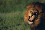 Lion Roaring Photographic Print by  DLILLC