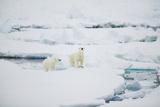 Polar Bears on Sea Ice Photographic Print by  DLILLC