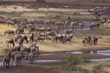 Zebras and Wildebeest Migrating Photographic Print by  DLILLC