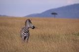Lone Zebra Photographic Print by  DLILLC