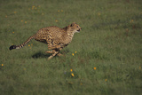 Cheetah Running Photographic Print by  DLILLC