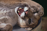 Mountain Lion with Paws on Face Photographic Print by  DLILLC