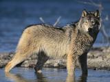 Gray Wolf in Water Fotografisk trykk av  DLILLC