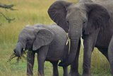 African Elephant and Calf Grazing Photographic Print by  DLILLC