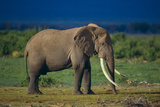 African Elephant on Savanna Photographic Print by  DLILLC