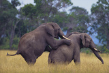African Elephants Mating Photographic Print by  DLILLC