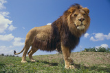 Lion on Hill Photographic Print by  DLILLC