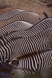 Row of Zebras Photographic Print by  DLILLC