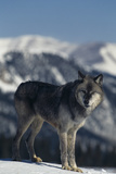 Gray Wolf Standing in Snow Photographic Print by  DLILLC