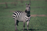 Common Zebra Photographic Print by  DLILLC