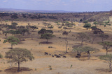 African Elephant Herd Walking in Savanna Photographic Print by  DLILLC