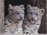 Snow Leopard Cubs Reproduction photographique par  DLILLC
