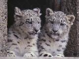 Snow Leopard Cubs Fotografisk tryk af  DLILLC