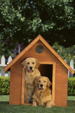 Two Golden Retrievers Photographic Print by  DLILLC