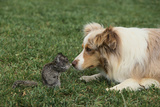 Australian Shepherd Facing off a California Ground Squirrel Photographic Print by  DLILLC