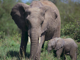 African Elephant Calf with Parent in Grass Photographic Print by  DLILLC