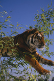Bengal Tiger Jumping through Bushes Photographic Print by  DLILLC