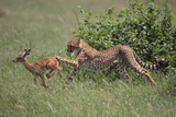 Young Cheetah Learning to Hunt Photographic Print by  DLILLC