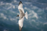 Swallow-Tailed Gull Reproduction photographique par  DLILLC