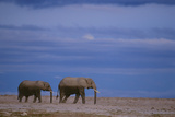 African Elephants Walking in Savanna Photographic Print by  DLILLC