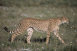 Cheetah Photographic Print by  DLILLC