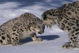 Snow Leopards Facing Off Photographic Print by  DLILLC